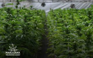 Robbery Carpinteria marijuana cultivation facility