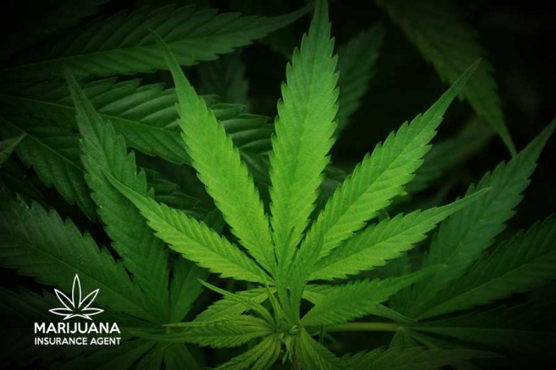 Cannabis distribution facility robbery