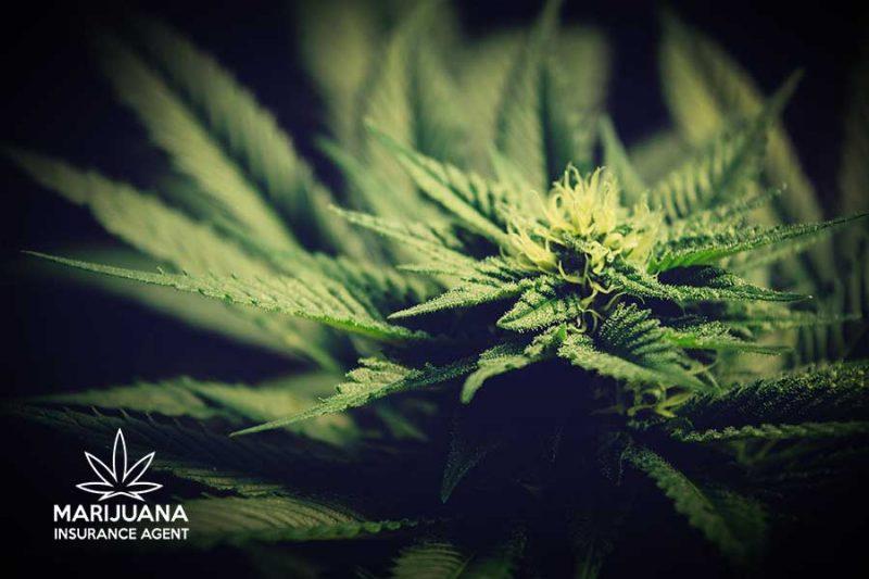 captive insurance cannabis companies
